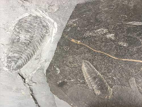 Trilobites-gigantes